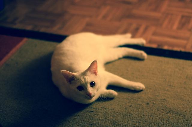bílá kočka na koberci
